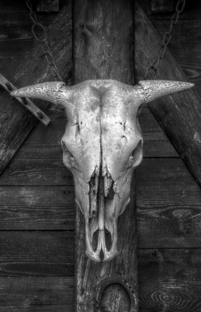 black-and-white-photo-white-cow-skull