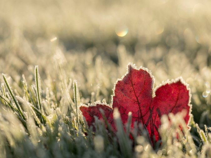 Frost-on-grass-red-maple-leaf-with-frost-in-dappled-sunlight