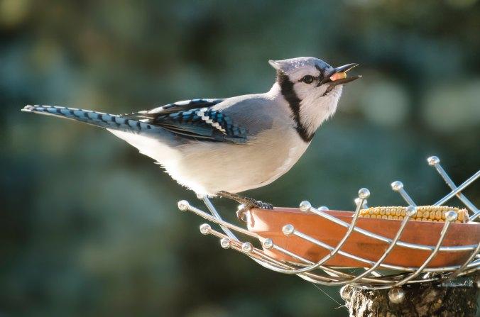 blue-jay-at-feeder