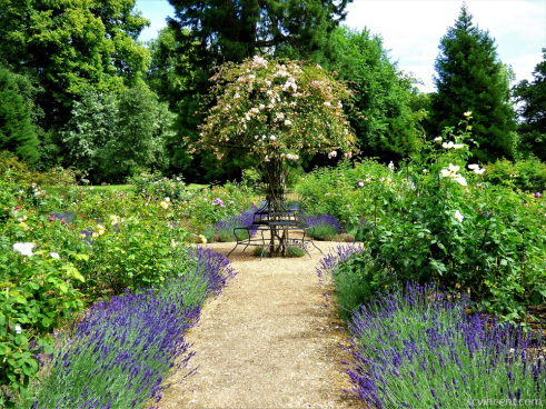 the image shows a formal English rose garden in bloom. Four paths, bordered with lavender, lead to the center of the garden, where a weeping standard rose cascades over a seat that is built around its trunk.