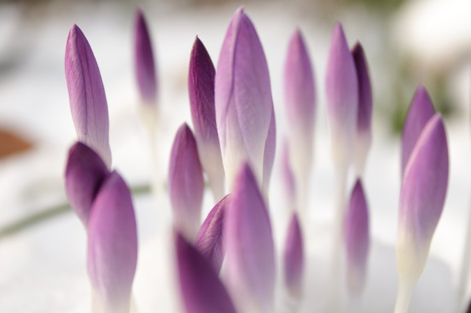 purple crocus buds on a bed of white
