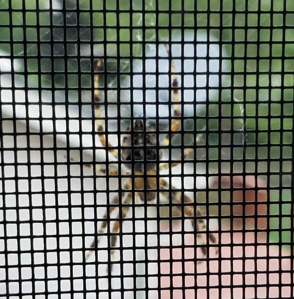 Fall Spider on a window screen